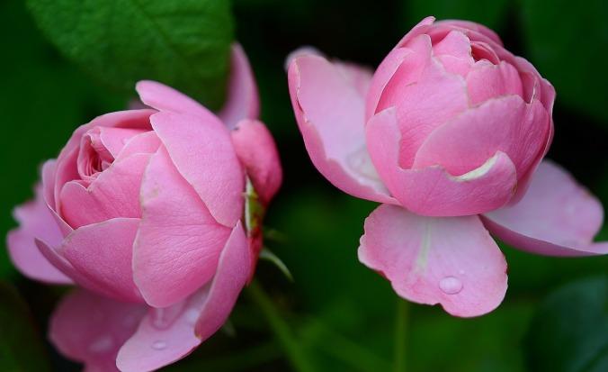rose-288090_1280-2